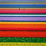 Tulips people. Tulips!