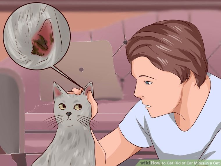 Get Rid Of Ear Mites In A Cat Cat Ear Mites Cat Steps Cat Ages