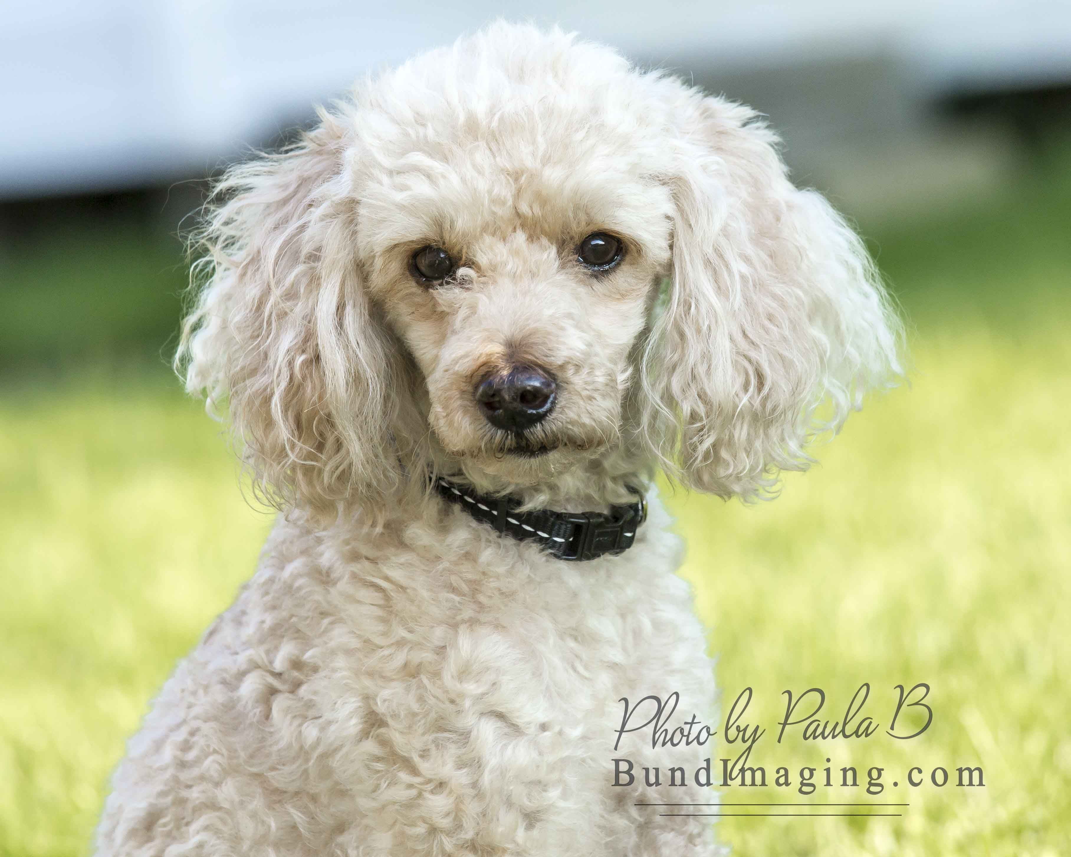 Poodle Miniature Dog For Adoption In Bowmanville On Adn 632368