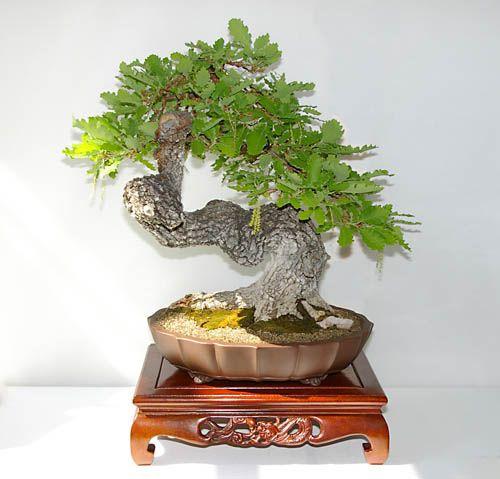 Quercus cerris zerr eiche bonsai japan pinterest for Bonsai hydrokultur