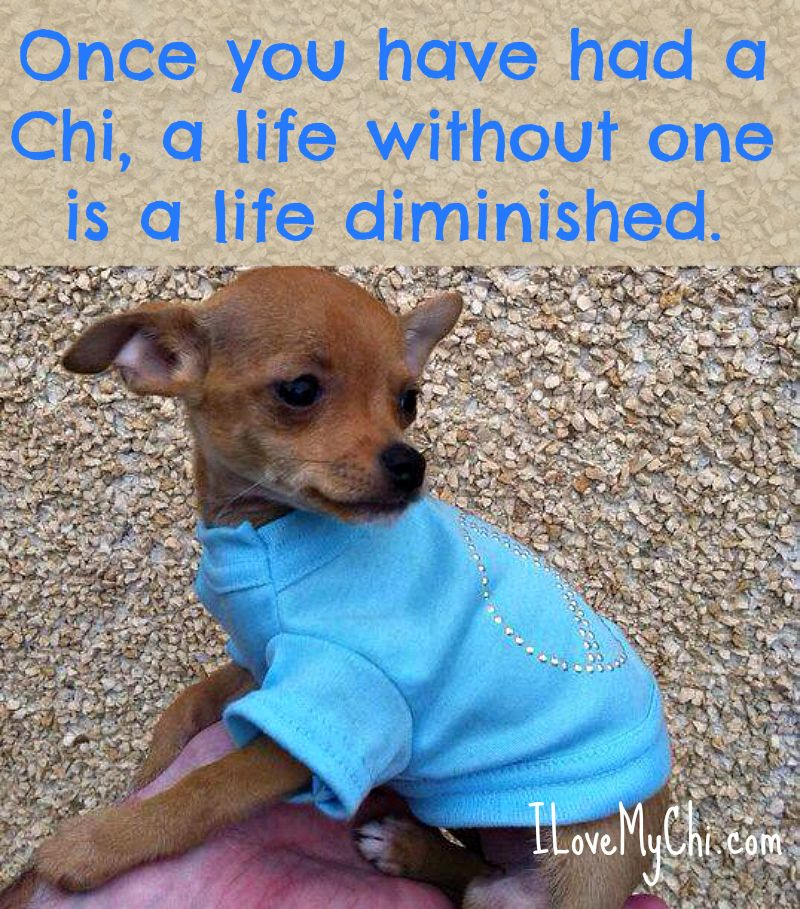 20 Chihuahua Memes That Will Make You Cry Chihuahua Puppies