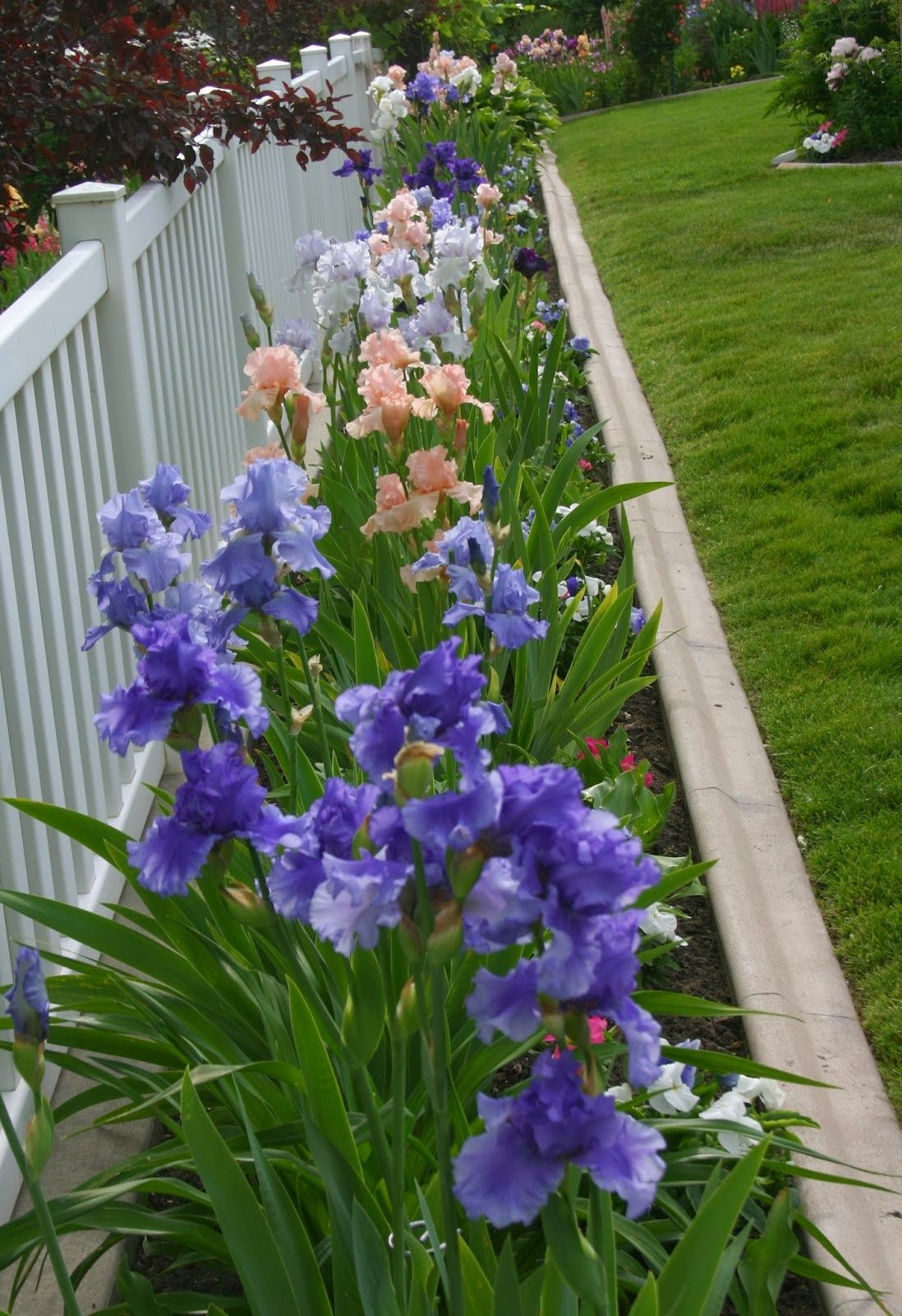 Bearded Iris colors / love the blooms and the