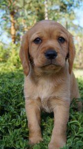 Cavador Puppies For Sale Pines Pets