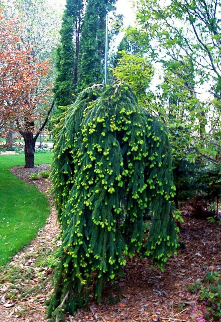 Haengebaeume garten fichte fruechte gruen nadelbaum for Garten inspiration