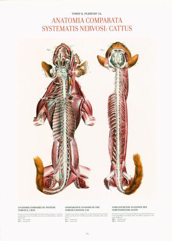 1854 Monkey nervous system, Antique Veterinary print XL, Animal ...