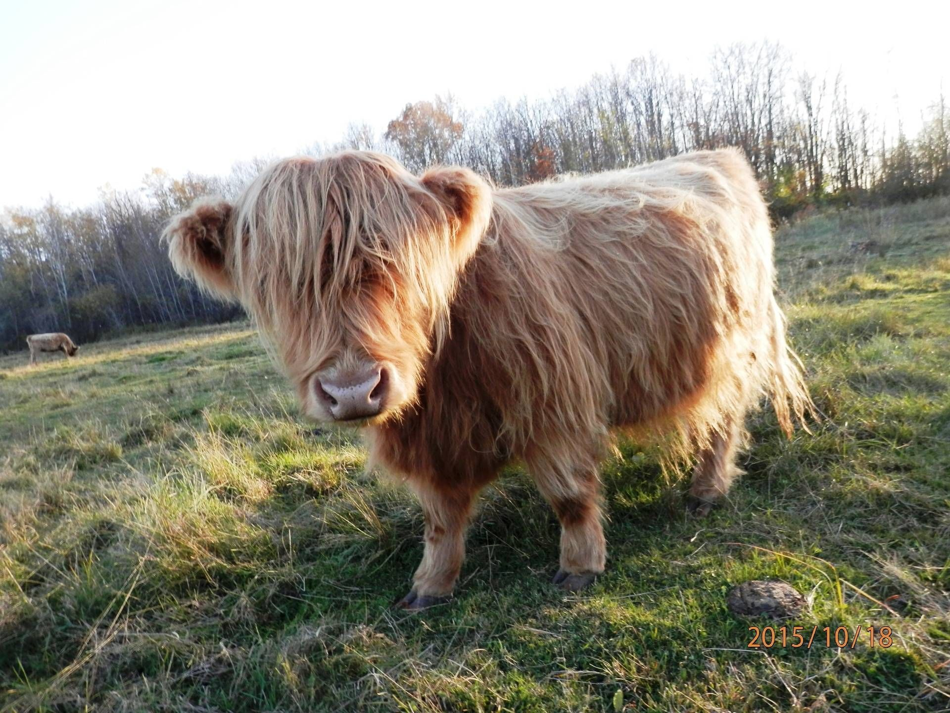 Pin By Susan Villegas On Animal Stories Mini Cows Mini Highland Cow Miniature Cows