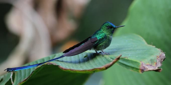Gallery of Long-tailed Sylph (Aglaiocercus kingii) | the Internet Bird Collection (IBC) | HBW Alive