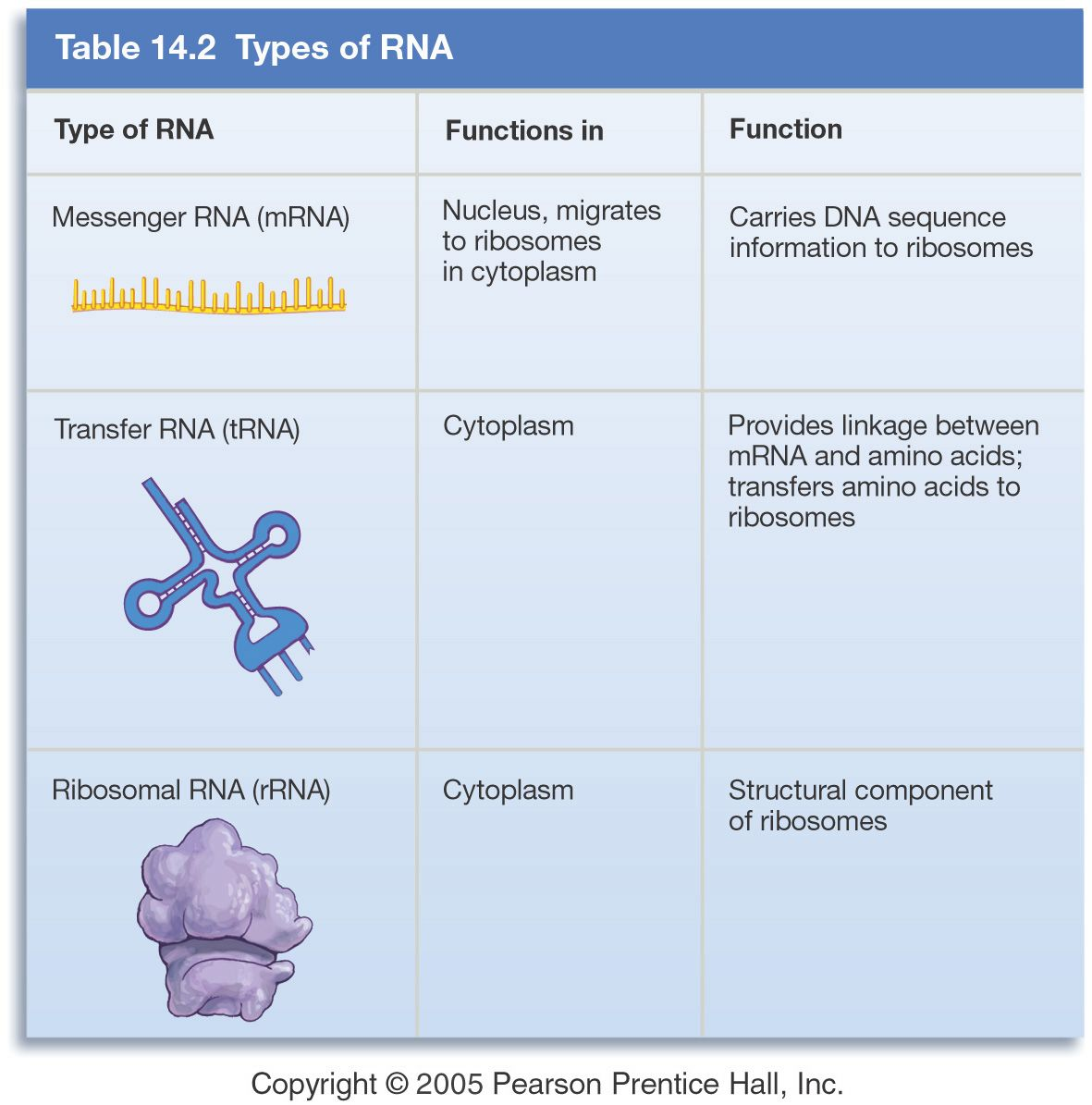difference between template and coding strand - image result for mrna rrna trna genetics genomics
