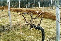 How To Prune Back An Overgrown Grapevine I Have Three Grossly