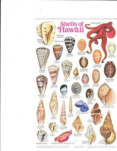 Shells Of Hawaii Hawaiian Marine Invertebrates Michael And Jerry Greenberg Amazon Com Books Shells Sea Illustration Ocean Treasures