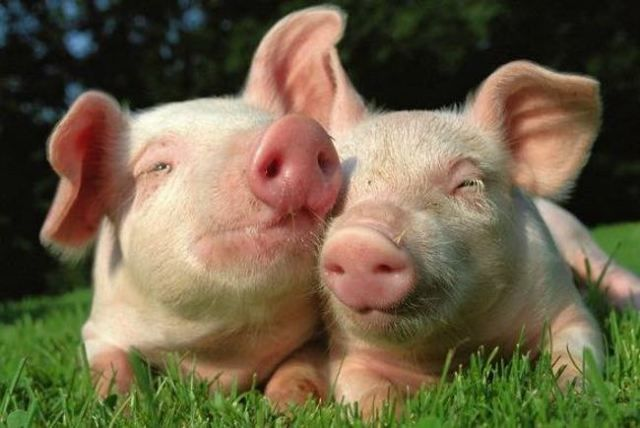 These Pigs Have Been Proven To Be Smarter Than The Average 3 Year Old