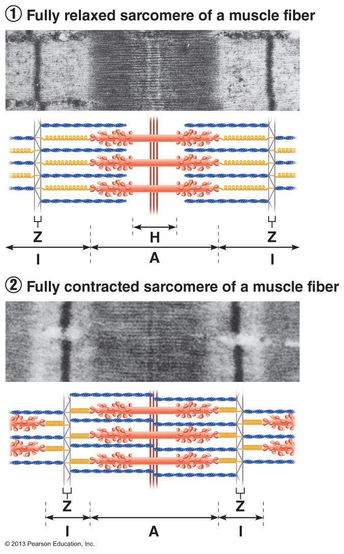 Figure 9 6 Sliding Filament Model Of Contraction Biomedical Science Muscle Muscle Tissue