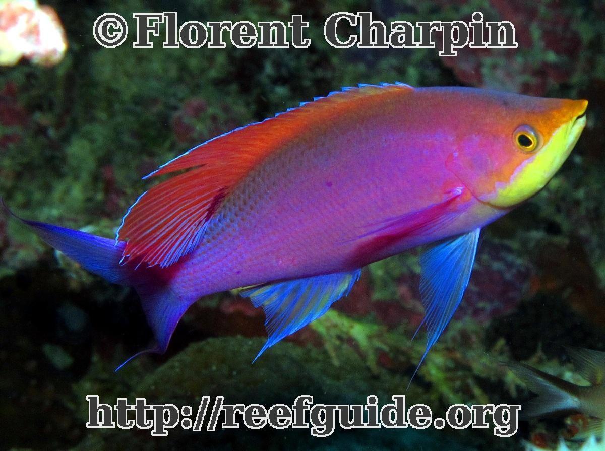 Freshwater aquarium fish for sale philippines - Purple Anthias Pseudanthias Tuka Philippines