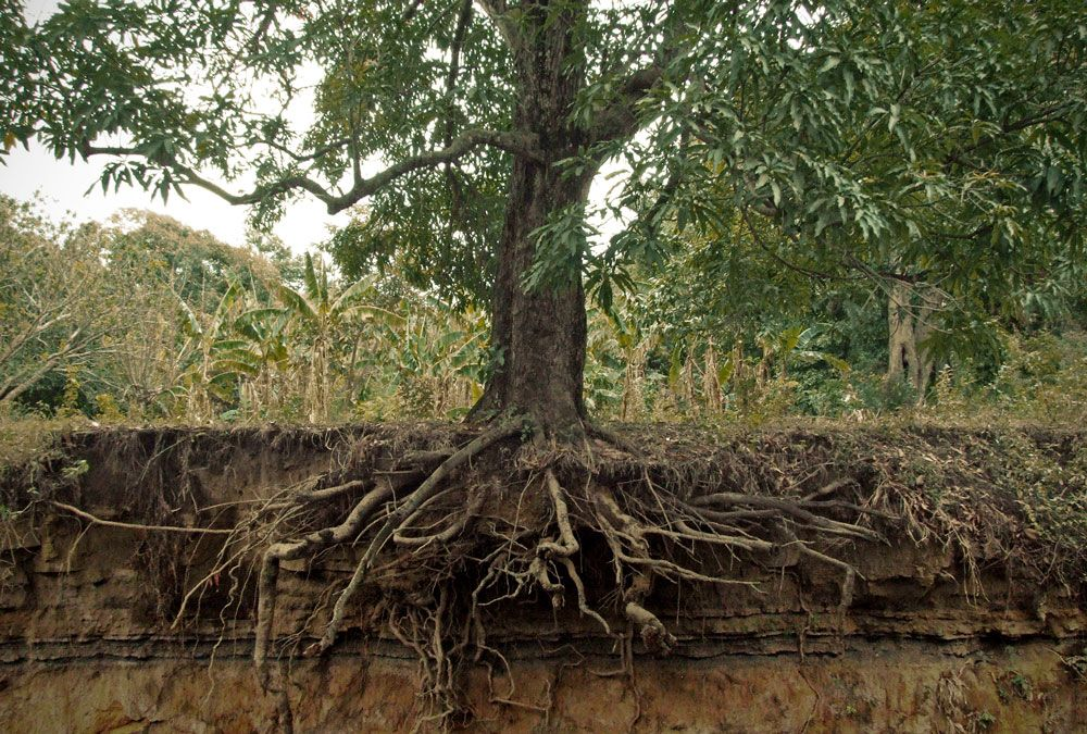 How to rescue trees with wrapped up roots you bet your