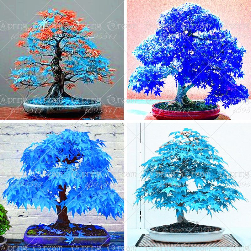 20 st cke china ahornbaum bonsai baum samen seltene sky blue ahorn samen balkon pflanzen. Black Bedroom Furniture Sets. Home Design Ideas