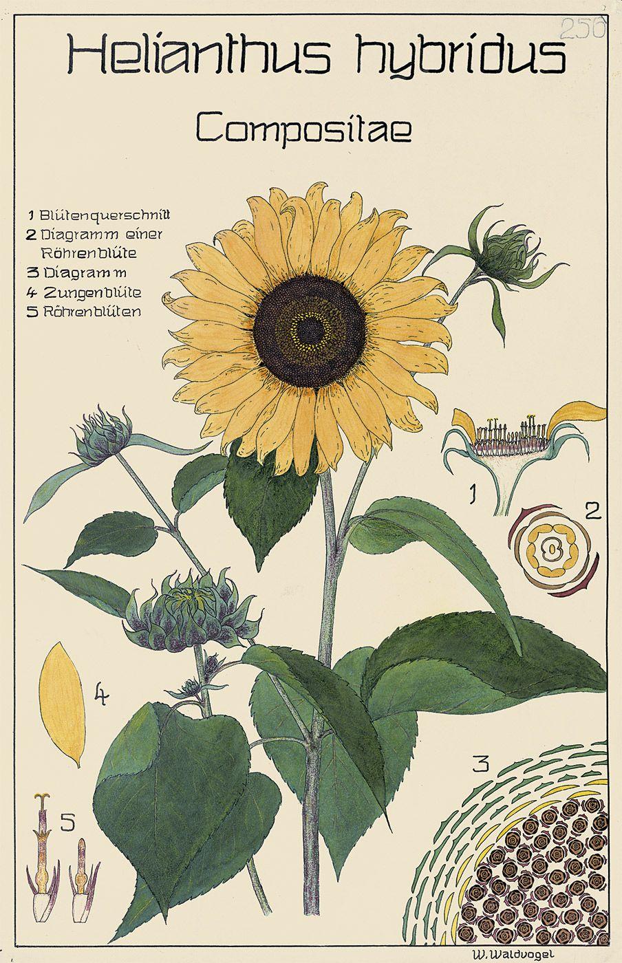 Botnical Sunflower Diagram Stamen Wire Diagrams Botanical Tree Ring Vintageprintable Schweizer Gartenbauschule Botanische Tafeln Verschiedener K Nstler Daisy Explore Prints Botany