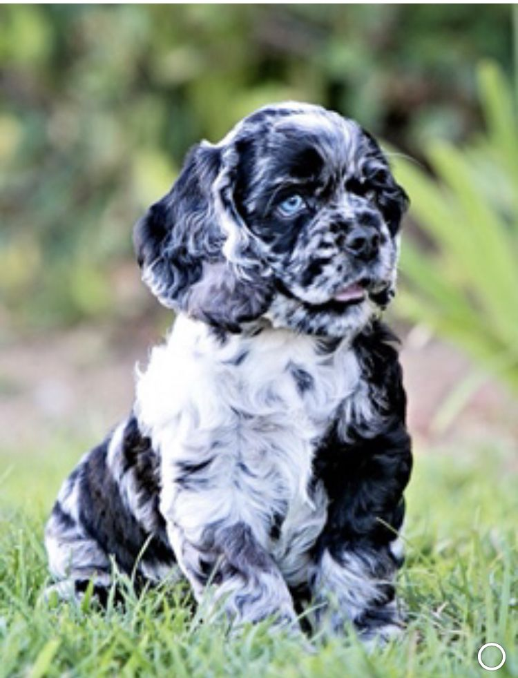 American Cocker Spaniel Black White Parti Merle Blue Eyes Cute Puppy Wallpaper Puppies Spaniel Puppies