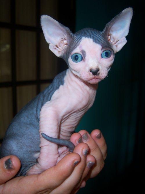 Theanimalblog Baby Cats Sphynx Cat Hairless Cat