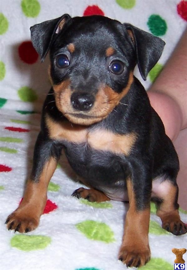 Minpin Puppies 1 English Toy Terrier Mini Pinscher Miniature
