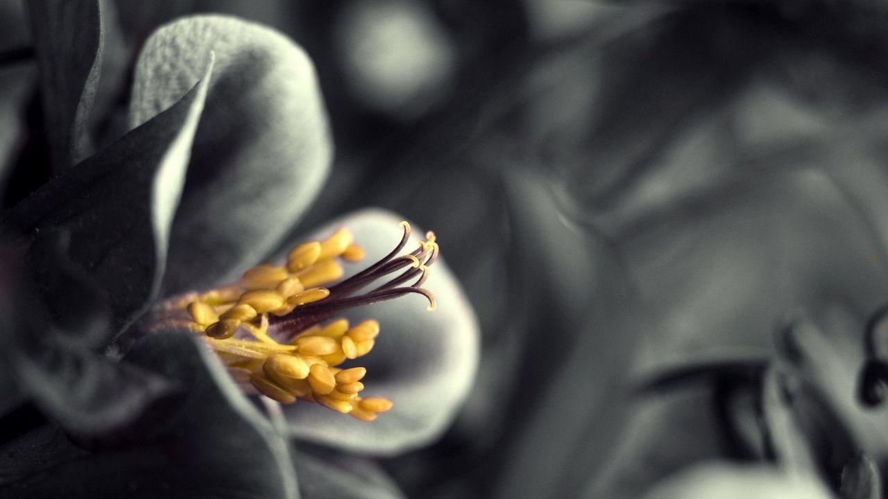 1280x720 Wallpaper Flower Black White Gray Yellow