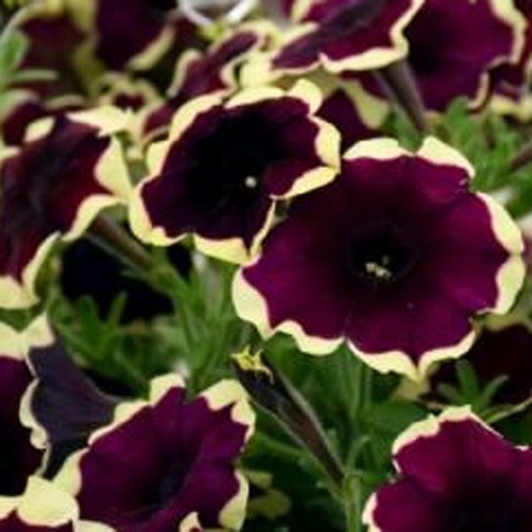 Petunia Crazytunia Good Night Kisses With Images Petunias