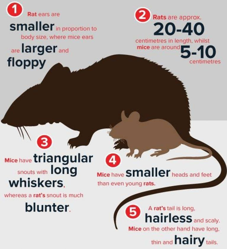 How to get rid of rats make your house is safe in 2019