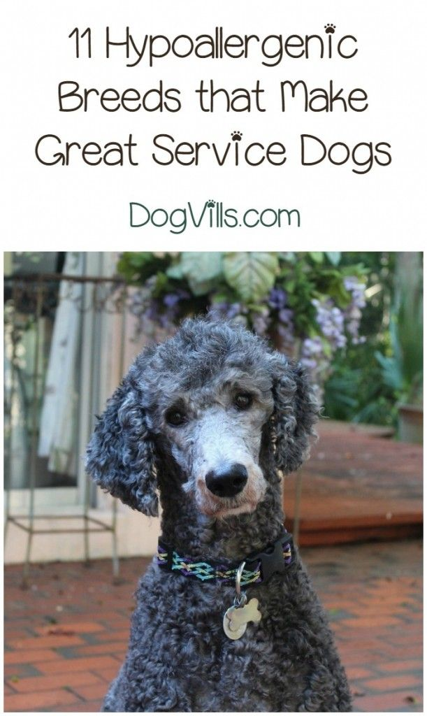 11 Best Hypoallergenic Service Dogs Fyi Pinterest Service Dogs