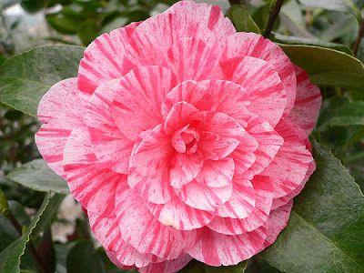 Plantas e Flores: Camélia