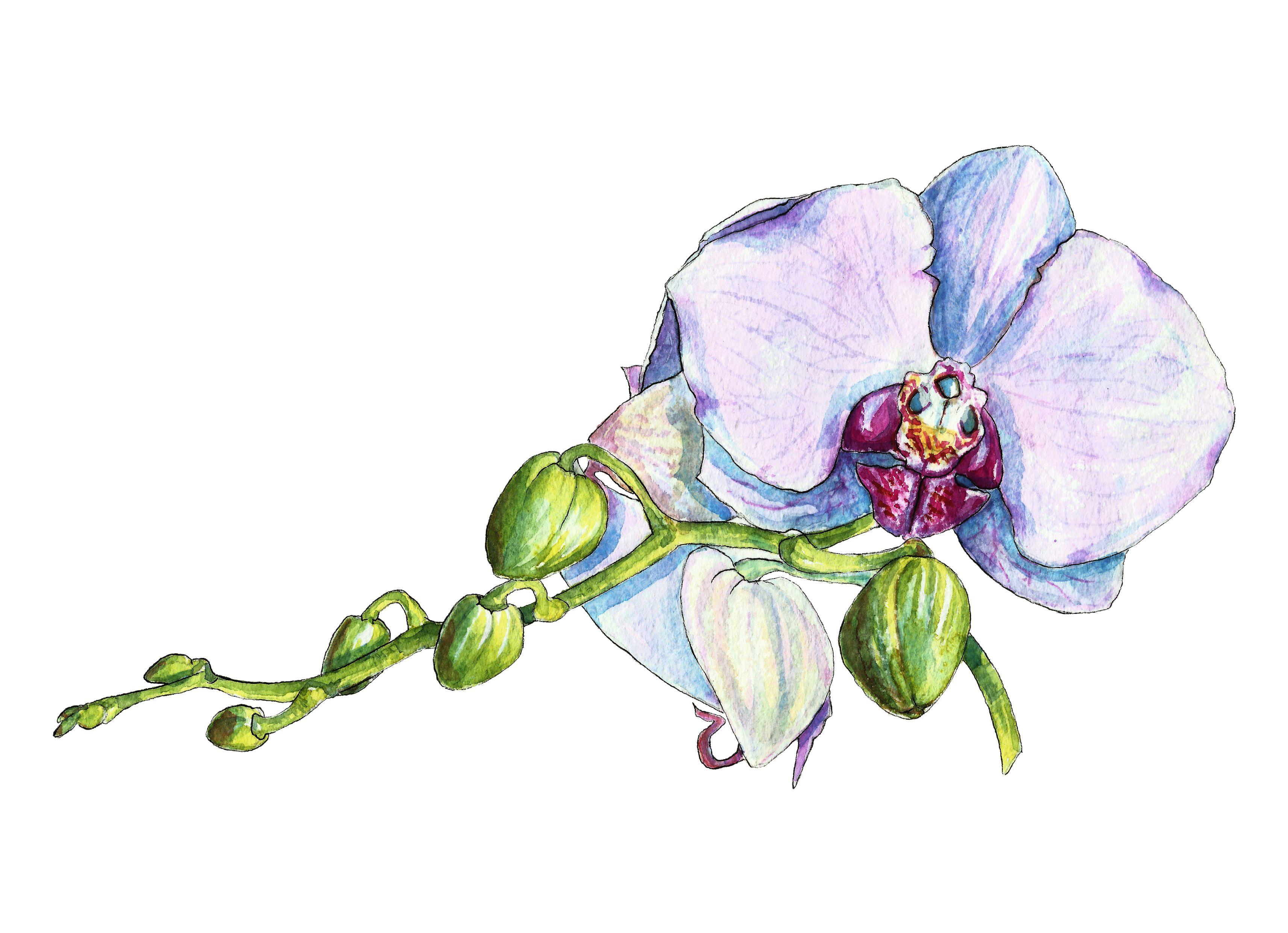 Orchid In Watercolor Vector Graphic Creativemarket Wedding