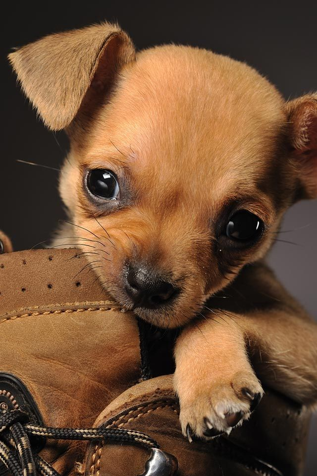 Oeps Betrapt Was Wel Lekker Cute Chihuahua Dog Pictures