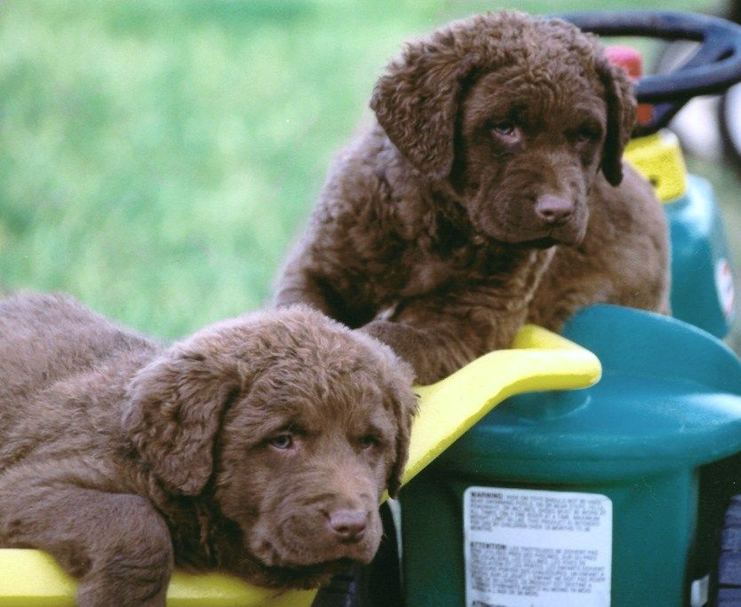 Chesapeake Bay Retriever If I Ever Get A Dog This Is The Type I Want Puppppies 2 Chesapeake Bay Retriever Puppy Retriever Puppy Chesapeake Bay