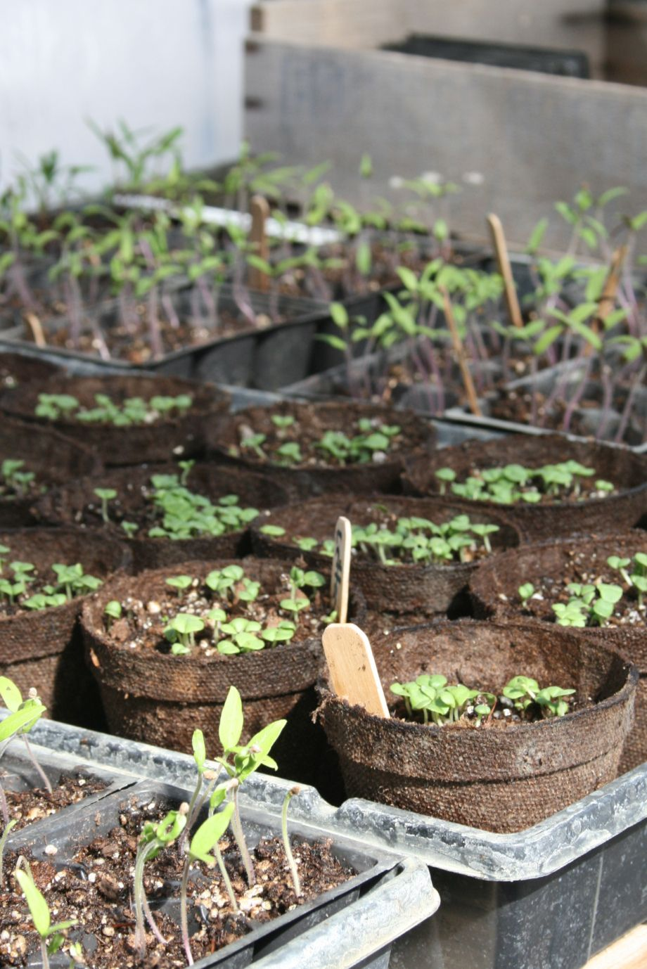 What shall I grow? Organic raised garden beds, Olive