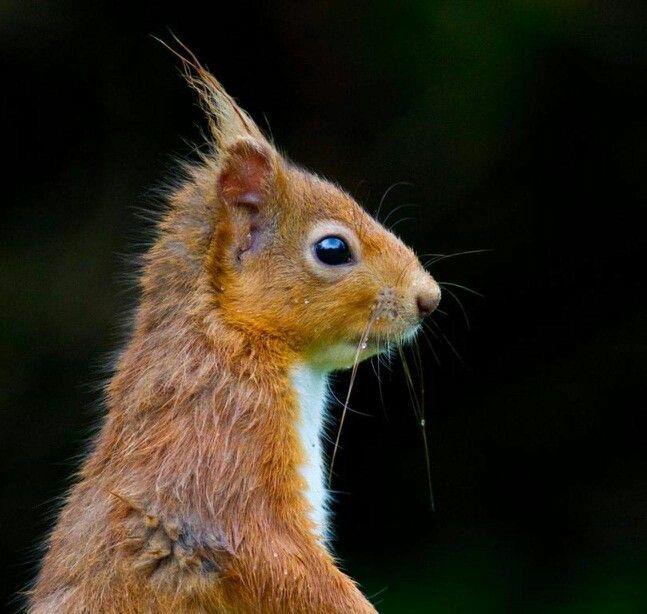 Pin by Jan Moutz on Squirrels! Scottish animals, Animals
