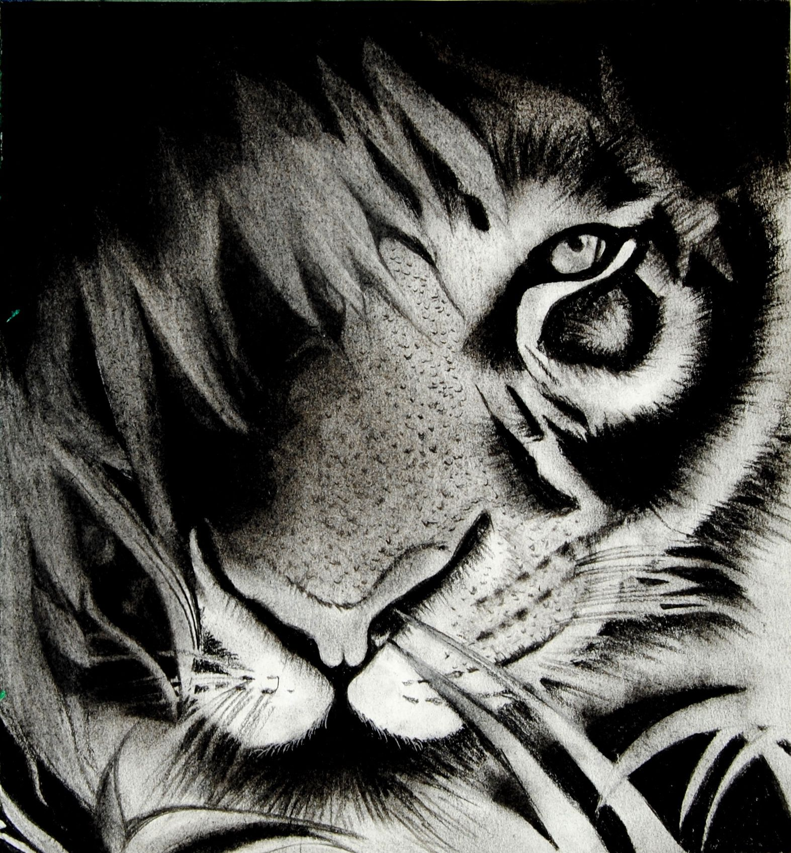 Royal Bengal Tiger sketch. Charcoal drawing of a Bengal