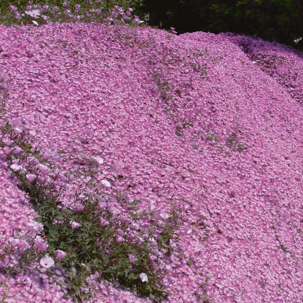 Delosperma Pink Ribbonhardy Ice Plant English Garden Ideas
