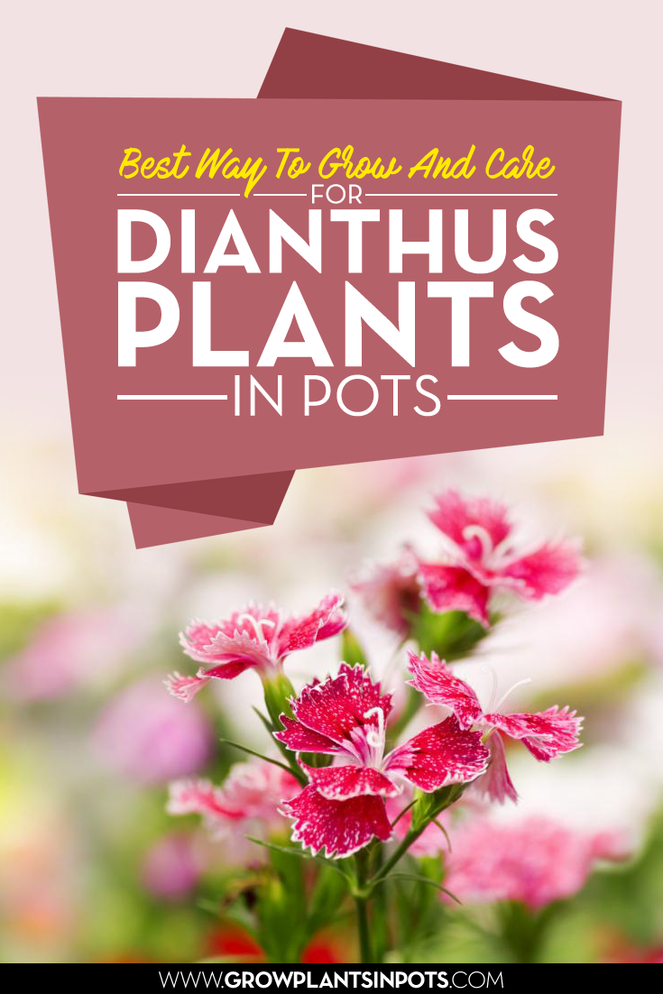 It Is Easy To Grow And Care For Dianthus Plants In Pots 640 x 480