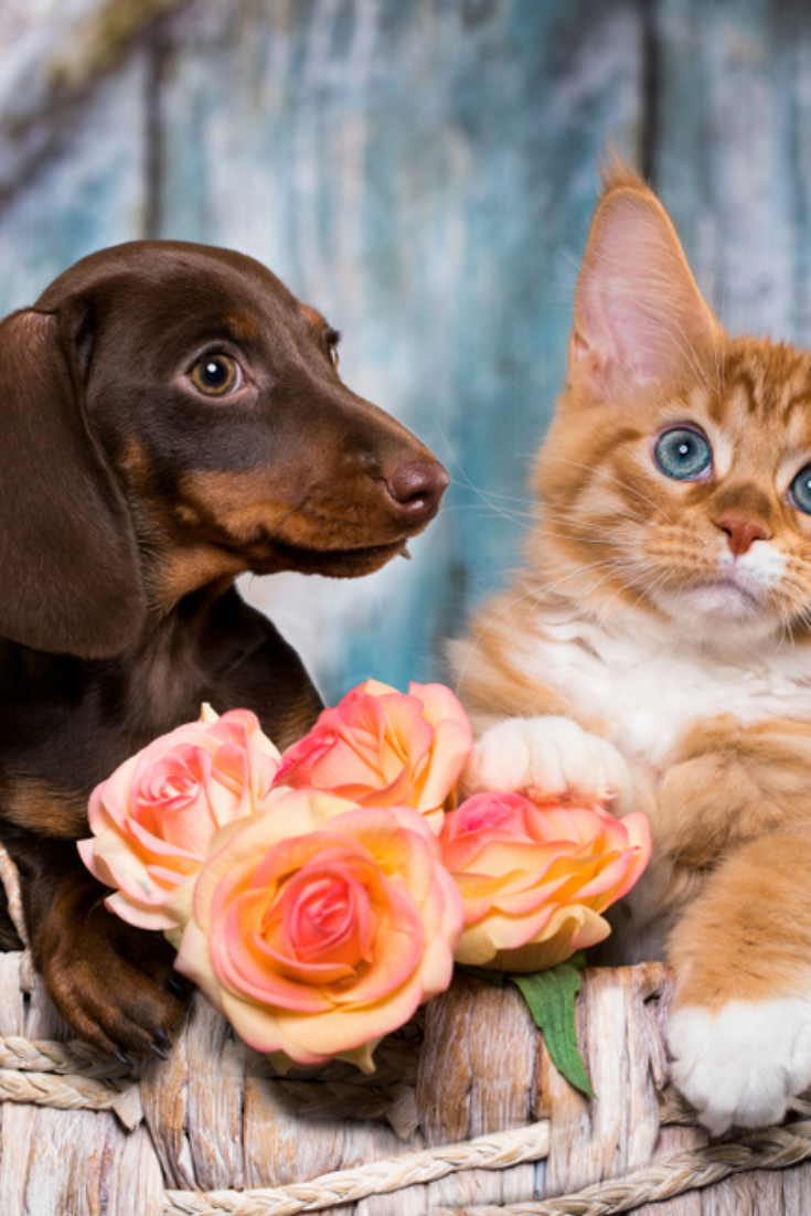 Cat And Dog Dachshund Puppy Chocolate Color And Kitten Red In 2020 Dachshund Dachshund Mom Dog Cat