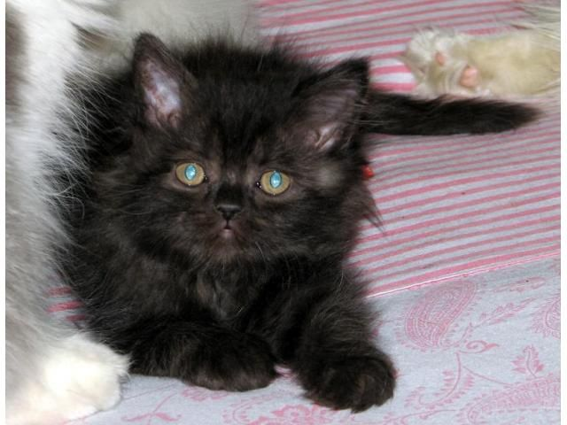 Black Kitten With Green Eyes For Sale East Delhi Dog Buy Sale Black Kitten Cats And Kittens Cats For Sale