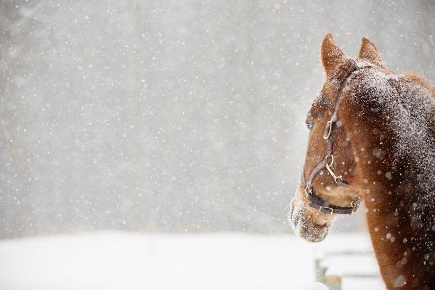 A chestnut Morgan gelding horse named Moose enjoying a ...