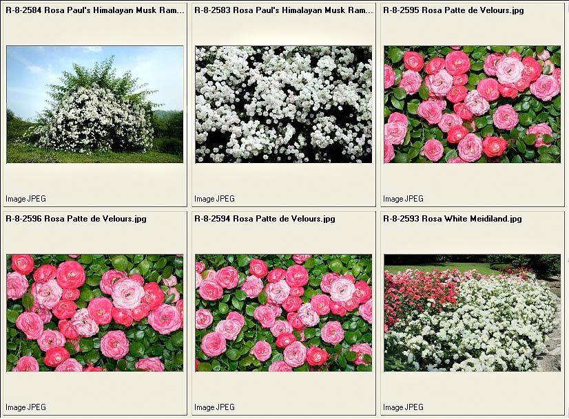 verschillende rozen
