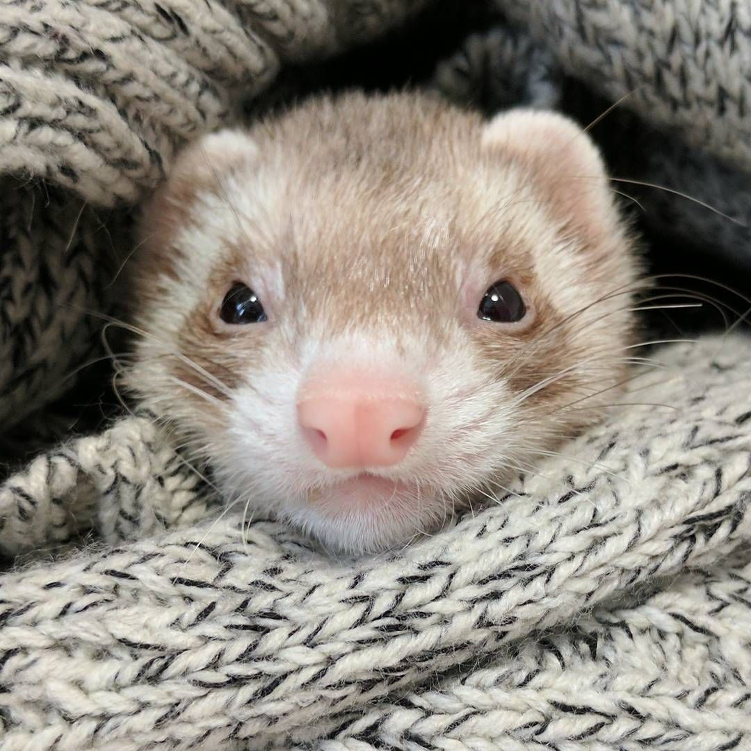79 Likes 2 Comments Tou Tou Toutoutheferret On Instagram