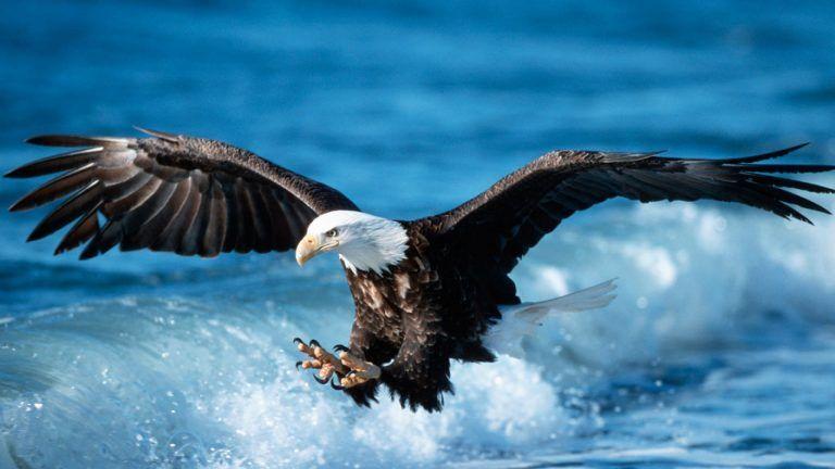 Bald Eagle High Definition Wallpaper Eagle Pictures