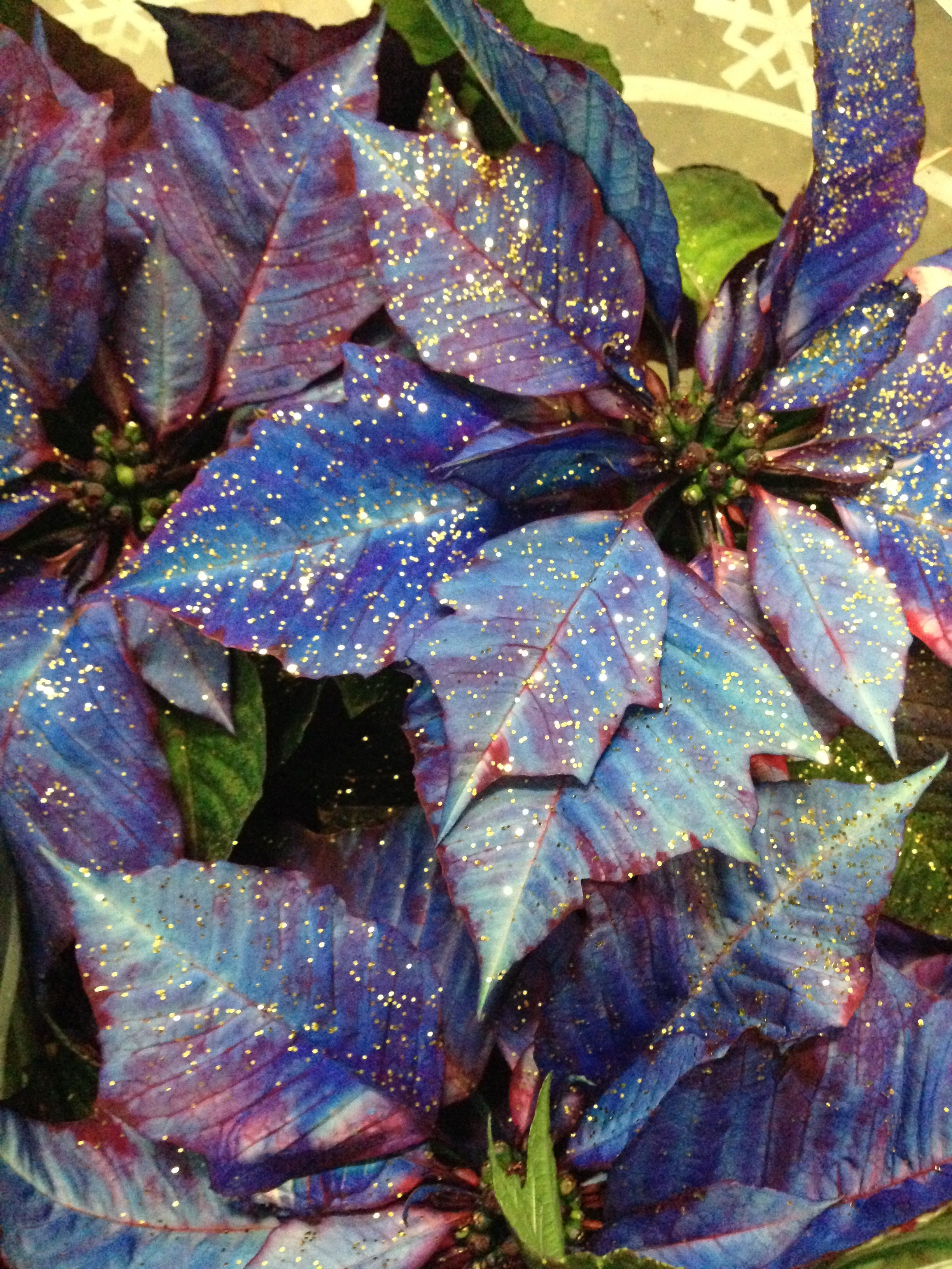 White Poinsettia Spray Painted Blue And Covered In Gold Glitter Poinsettia Spray Painting Flowers