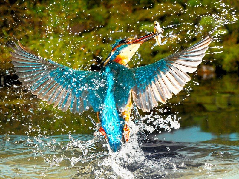 Hummingbird Catching A Fish Its A Kingfisher You Idiot - Man finally captures the perfect kingfisher photo after 6 years and 720000 attempts