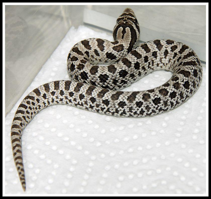 Western hognose morph  | Reptile Fever | Snake, Cute snake, Pretty