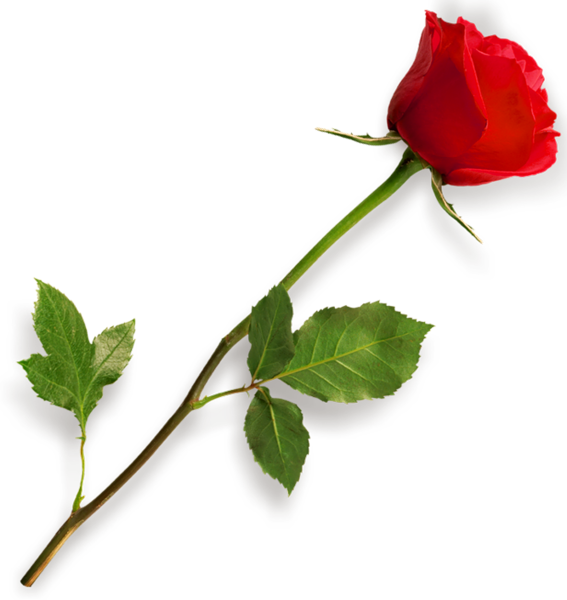 Red Rose PNG Clipart Picture Rosas