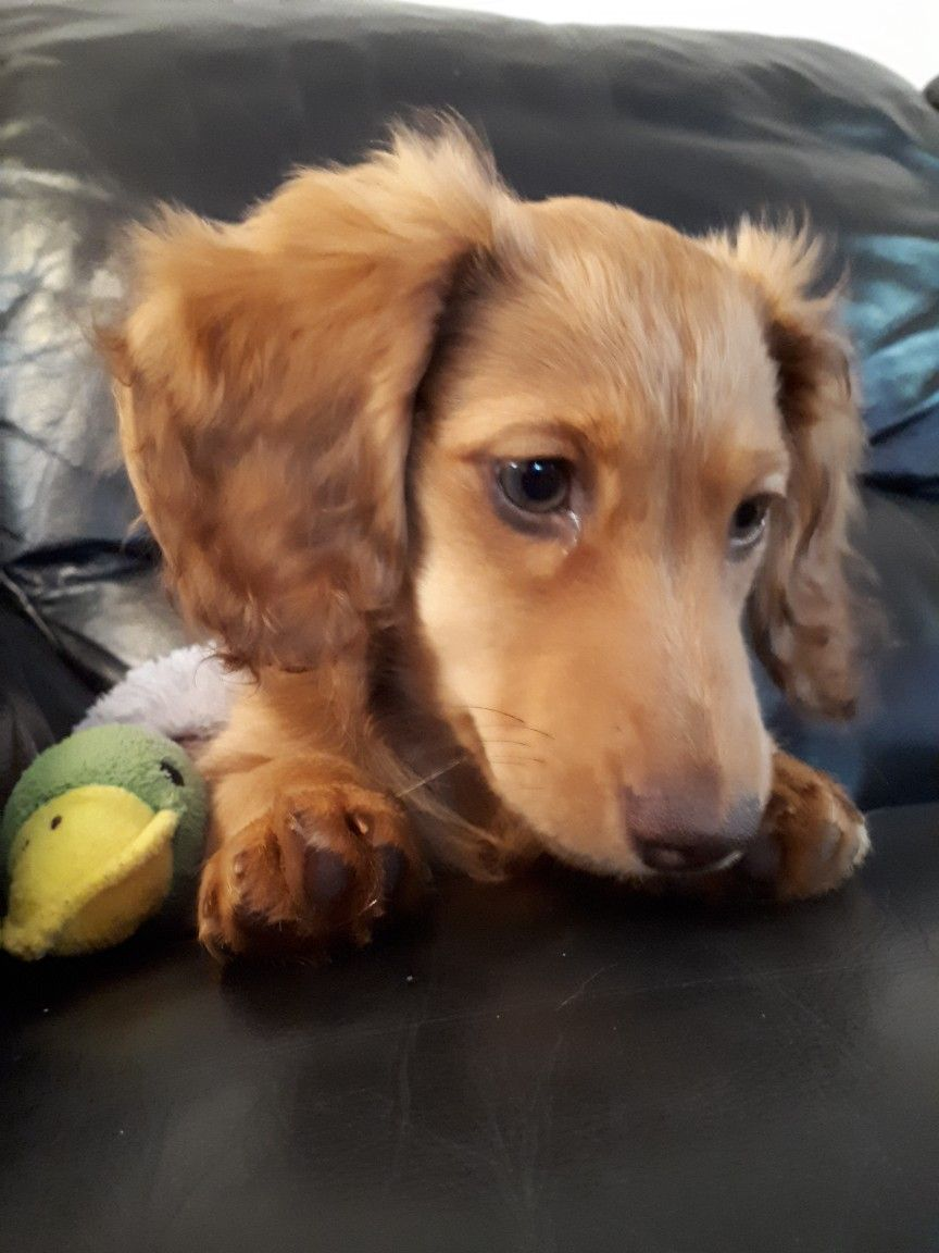 Diablo Thinking Of Life Without Her Favourite Squeaky Duck Toy