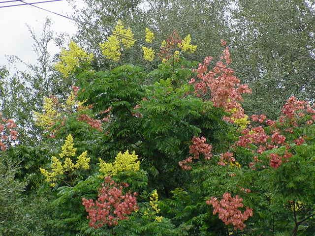 Golden Rain Tree flowers and seed pods Porch Pool Garden