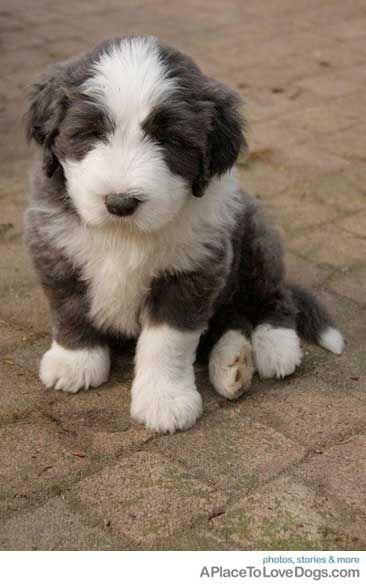 Baby Beardie ) Fluffy dog breeds