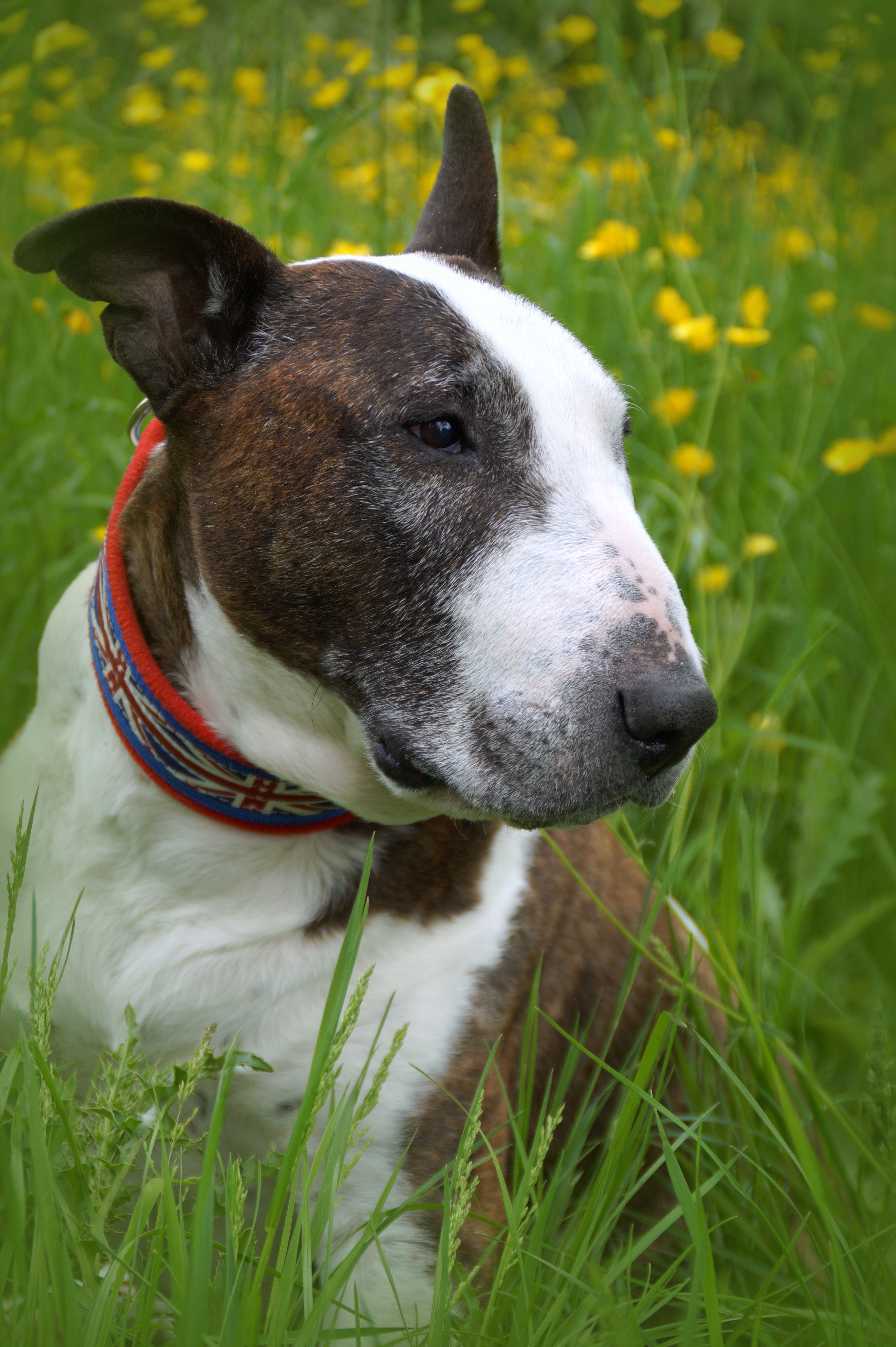 English Bulldog, Hip Dysplasia & Dog Health Products
